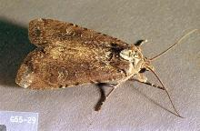Image related to Clover seed-Cutworm and armyworm