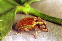 Image related to Clover seed-Lesser clover leaf weevil