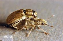 Image related to Clover seed-Pea leaf weevil