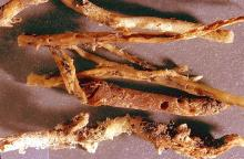 Image related to Corn seed-Corn rootworm (adult)