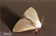Image related to Cottonwood (Populus)-Satin moth