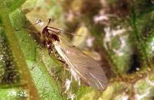 Image related to Currant and gooseberry-Currant aphid