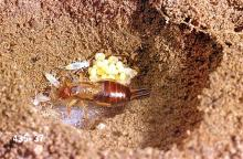 Image related to Dahlia (Dahlia)-Earwig