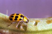 Image related to Dahlia (Dahlia)-Western spotted cucumber beetle