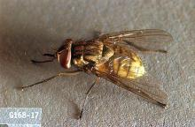 Image related to Dairy cattle-Stable fly