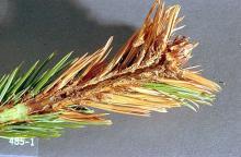 Image related to Douglas-fir (Pseudotsuga)-Coneworm