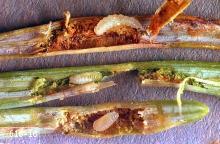 Image related to Douglas-fir (Pseudotsuga)-Douglas-fir needle midge