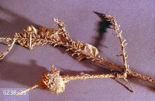 Image related to Douglas-fir (Pseudotsuga)-Douglas-fir tussock moth