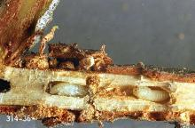 Image related to Douglas-fir (Pseudotsuga)-Douglas-fir twig weevil