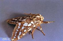 Image related to Douglas-fir (Pseudotsuga)-Silverspotted tiger moth