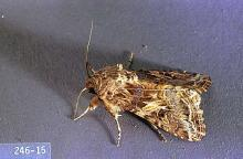 Image related to Dry edible and seed pea-Cutworm, armyworm, and looper
