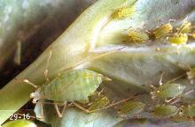 Image related to Dry edible and seed pea-Pea aphid
