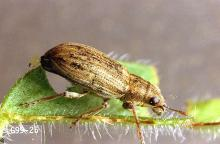 Image related to Dry edible and seed pea-Pea leaf weevil