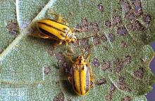 Image related to Elm (Ulmus)-Elm leaf beetle