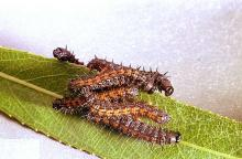 Image related to Elm (Ulmus)-Spiny elm caterpillar (mourningcloak butterfly)