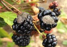 Image of Brown marmorated stink bug nymphs (Halyomorpha halys) on 'PrimeArk45' primocane-fruiting blackberry fruit in September.