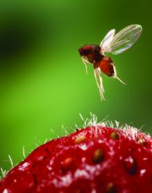Image of a female spotted wing drosophila (Drosophila suzukii) above a strawberry