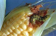 Image related to Field and silage corn-Corn earworm