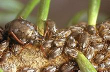 Image related to Fir (Abies)-Bow-legged fir aphid