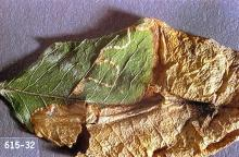 Image related to Golden chain (Laburnum)-Leafminer