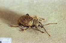 Image related to Grape-Black vine weevil