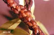 Image related to Grape-European fruit lecanium scale