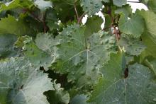 Image related to Grape-Grape erineum mite