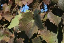 Image related to Grape-Spider mite