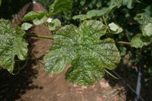 Image related to Grape-Thrips