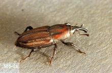 Image related to Grass seed-Billbugs