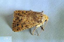 Image related to Grass seed-Glassy cutworm