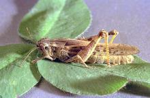 Image related to Grass seed-Grasshopper