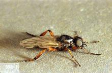 Image related to Grass seed-March fly