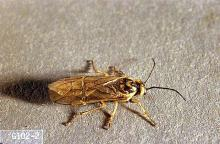 Image related to Grass seed-Sawfly