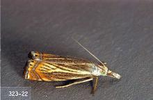 Image related to Grass seed-Sod webworm (cranberry girdler)