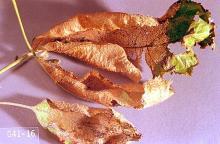 Image related to Hawthorn (Crataegus)-Apple-and-thorn skeletonizer