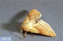 Image related to Hawthorn (Crataegus)-Tent caterpillar