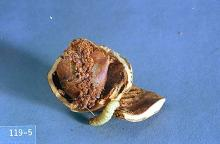 Image related to Hazelnut-Filbertworm