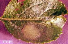 Image related to Hazelnut-Obliquebanded leafroller