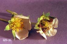 Image related to Hazelnut-Omnivorous leaftier