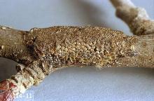 Image related to Hazelnut-Tent caterpillar