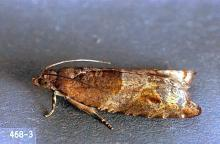 Image related to Holly (Ilex)-Holly bud moth