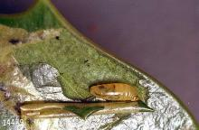 Image related to Holly (Ilex)-Holly leafminer