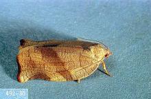 Image related to Hop-Obliquebanded leafroller