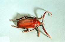 Image related to Hop-Prionus beetle