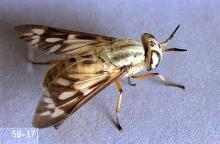 Image related to Horse-Biting fly