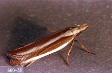 Image related to Juniper (Juniperus)-Juniper webworm