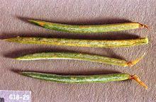 Image related to Juniper (Juniperus)-Spider mite