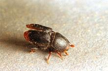 Image related to Landscape pests-Bark beetle