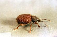Image related to Landscape pests-Root weevil